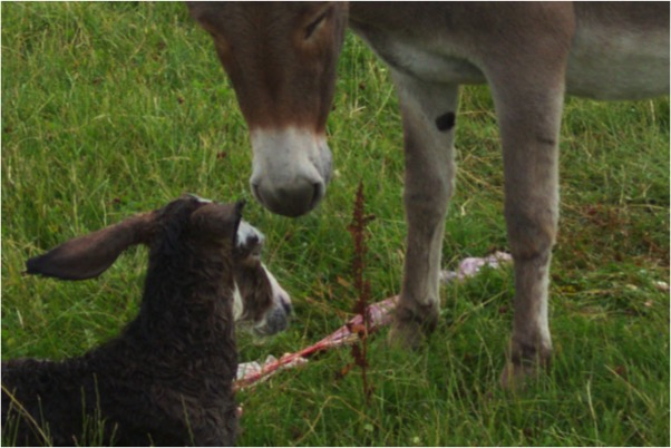 Gamelea Donkey birth 2