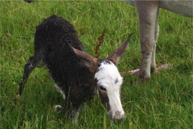Gamelea Donkey Birth 3